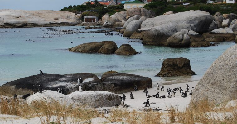 Penguin Around Cape Town, South Africa